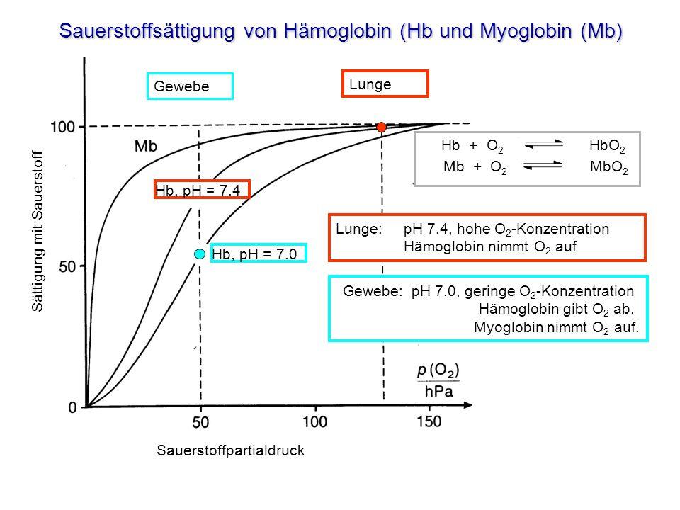 Sauerstoffsättigung von Hämoglobin (Hb und Myoglobin (Mb) Gewebe Hb, pH = 7.0 Sättigung mit Sauerstoff Sauerstoffpartialdruck Lunge:pH 7.4, hohe O 2 -Konzentration Hämoglobin nimmt O 2 auf Gewebe: pH 7.0, geringe O 2 -Konzentration Hämoglobin gibt O 2 ab.