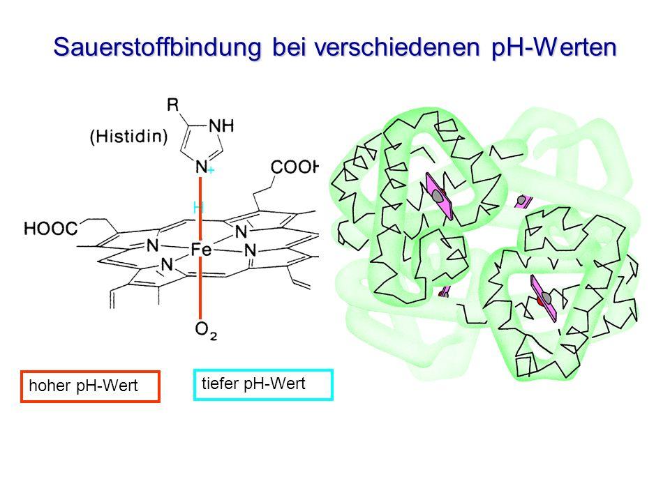 Sauerstoffbindung bei verschiedenen pH-Werten tiefer pH-Wert H + hoher pH-Wert