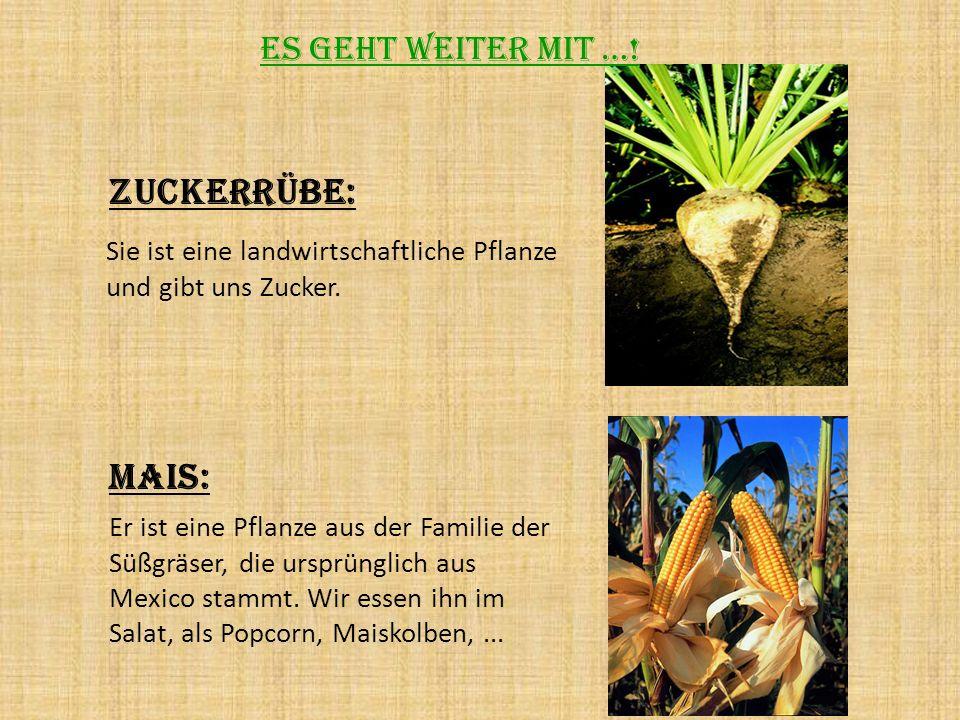 Zuckerrübe: Sie ist eine landwirtschaftliche Pflanze und gibt uns Zucker. Mais: Er ist eine Pflanze aus der Familie der Süßgräser, die ursprünglich au