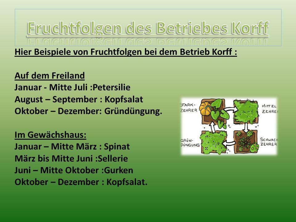 Hier Beispiele von Fruchtfolgen bei dem Betrieb Korff : Auf dem Freiland Januar - Mitte Juli :Petersilie August – September : Kopfsalat Oktober – Dezember: Gründüngung.