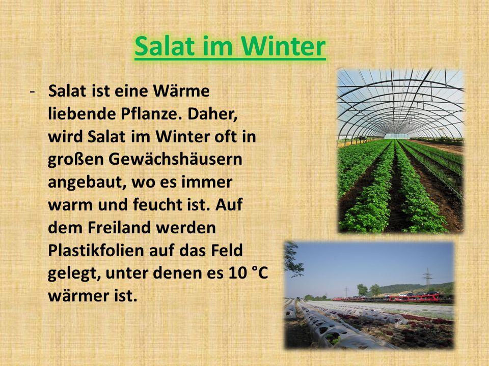 - Salat ist eine Wärme liebende Pflanze.