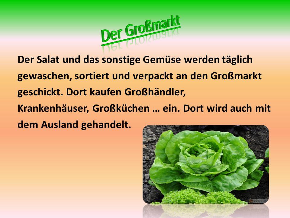 Der Salat und das sonstige Gemüse werden täglich gewaschen, sortiert und verpackt an den Großmarkt geschickt.
