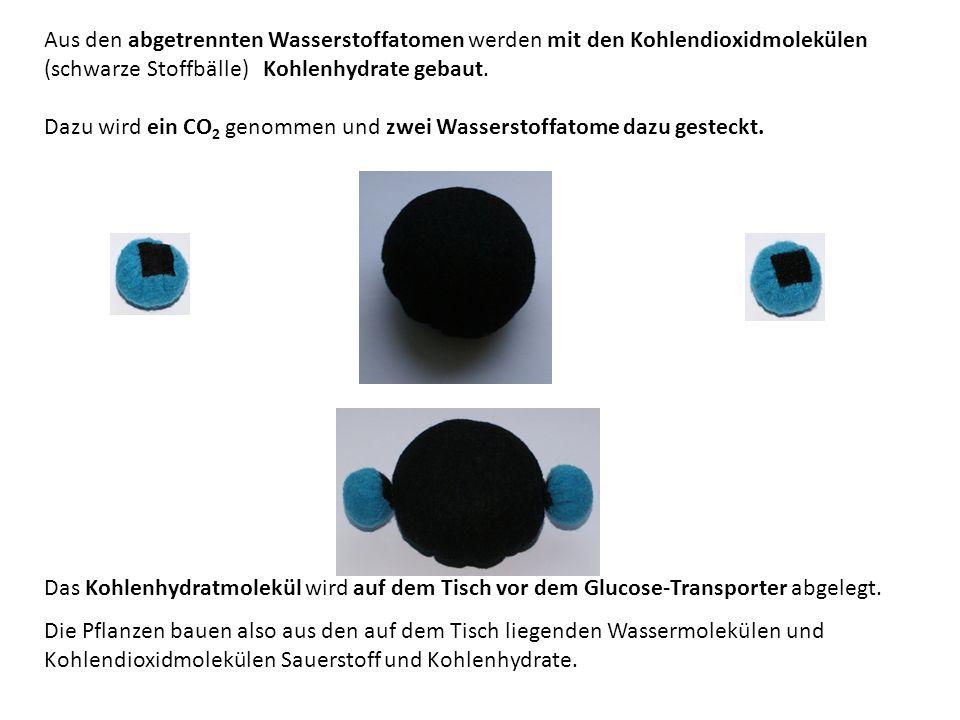 Aus den abgetrennten Wasserstoffatomen werden mit den Kohlendioxidmolekülen (schwarze Stoffbälle) Kohlenhydrate gebaut. Dazu wird ein CO 2 genommen un