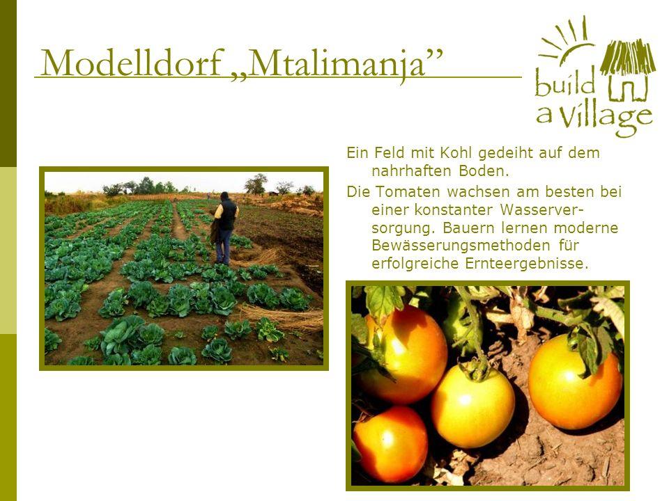Ein Feld mit Kohl gedeiht auf dem nahrhaften Boden. Die Tomaten wachsen am besten bei einer konstanter Wasserver- sorgung. Bauern lernen moderne Bewäs