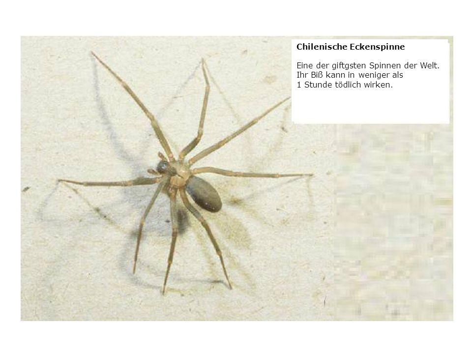 verteilt durch www.funmail2u.dewww.funmail2u.de Chilenische Eckenspinne Eine der giftgsten Spinnen der Welt.