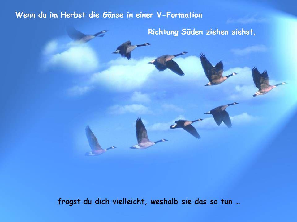Es wurde heraus gefunden, dass jeder Vogel, wenn er seine Flügel schlägt, einen Aufwind für den direkt dahinter fliegenden Vogel aufbaut.