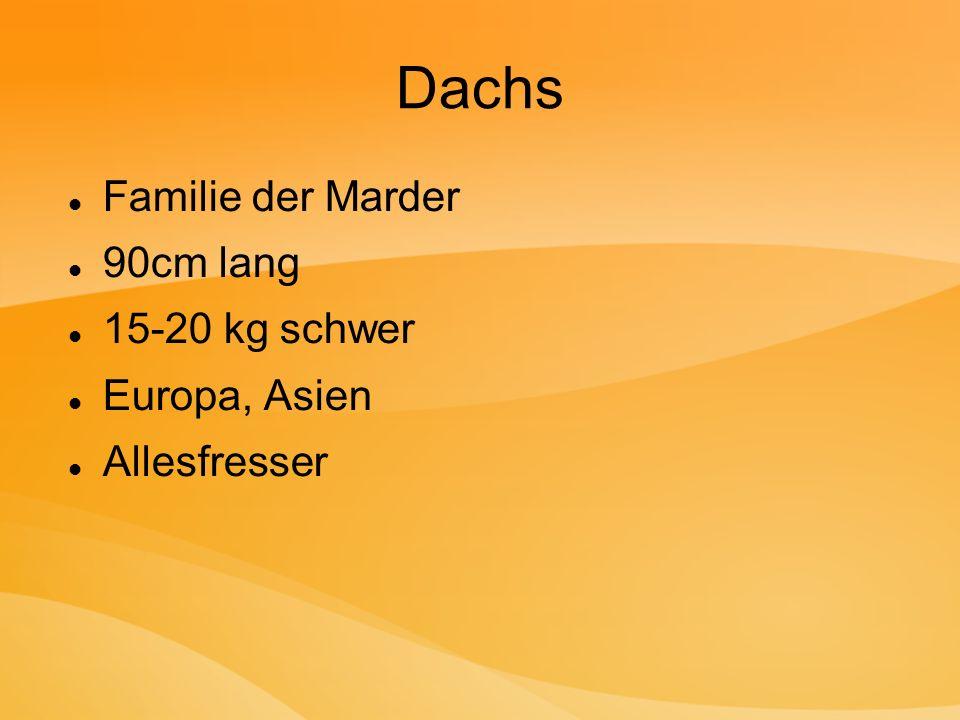 Dachs Familie der Marder 90cm lang 15-20 kg schwer Europa, Asien Allesfresser