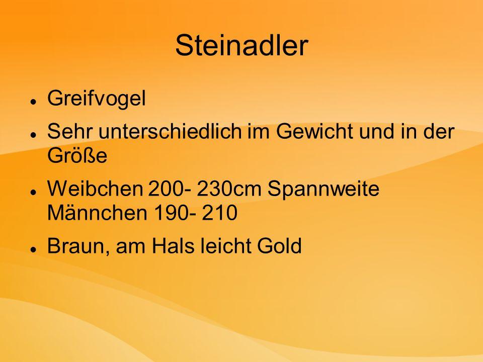 Steinadler Greifvogel Sehr unterschiedlich im Gewicht und in der Größe Weibchen 200- 230cm Spannweite Männchen 190- 210 Braun, am Hals leicht Gold