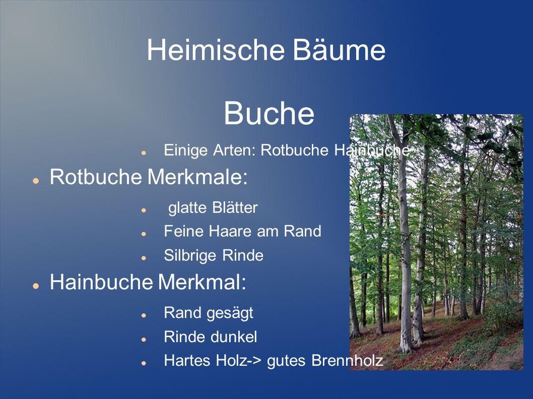 Heimische Bäume Buche Einige Arten: Rotbuche Hainbuche Rotbuche Merkmale: glatte Blätter Feine Haare am Rand Silbrige Rinde Hainbuche Merkmal: Rand ge