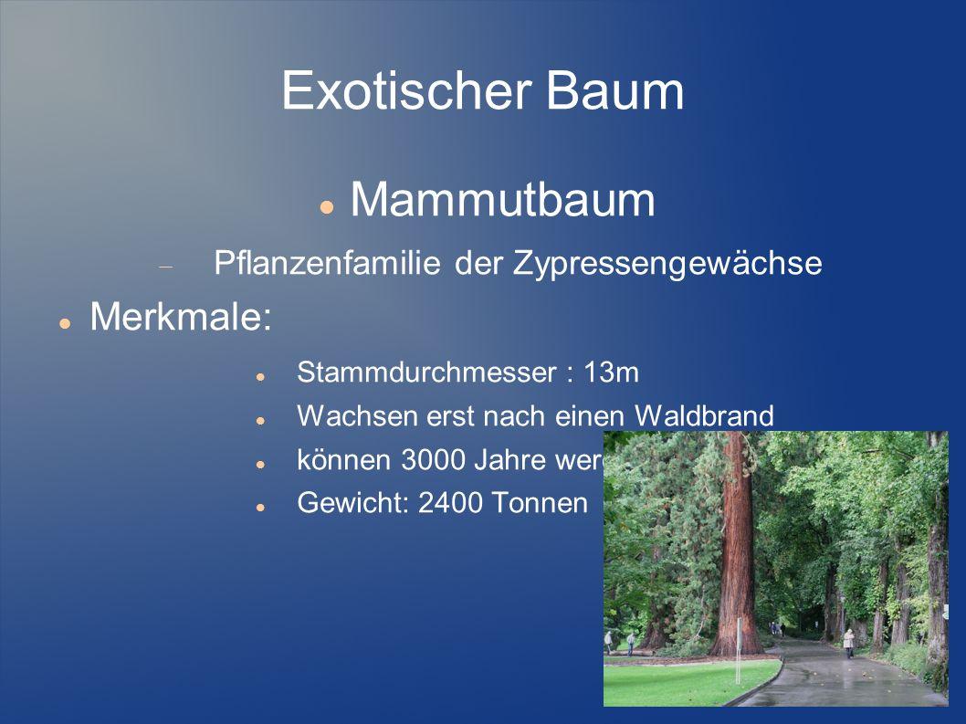 Exotischer Baum Mammutbaum Pflanzenfamilie der Zypressengewächse Merkmale: Stammdurchmesser : 13m Wachsen erst nach einen Waldbrand können 3000 Jahre
