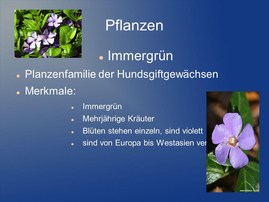 Pflanzen Immergrün Planzenfamilie der Hundsgiftgewächsen Merkmale: Immergrün Mehrjährige Kräuter Blüten stehen einzeln, sind violett sind von Europa b