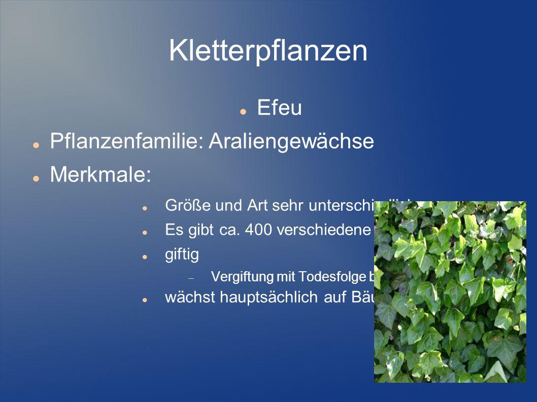 Kletterpflanzen Efeu Pflanzenfamilie: Araliengewächse Merkmale: Größe und Art sehr unterschiedlich Es gibt ca. 400 verschiedene Sorten giftig Vergiftu