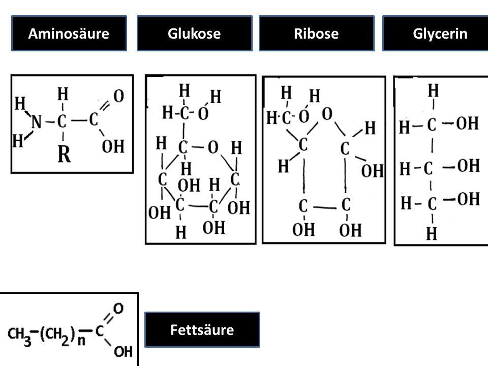 AminosäureGlukoseRiboseGlycerin Fettsäure