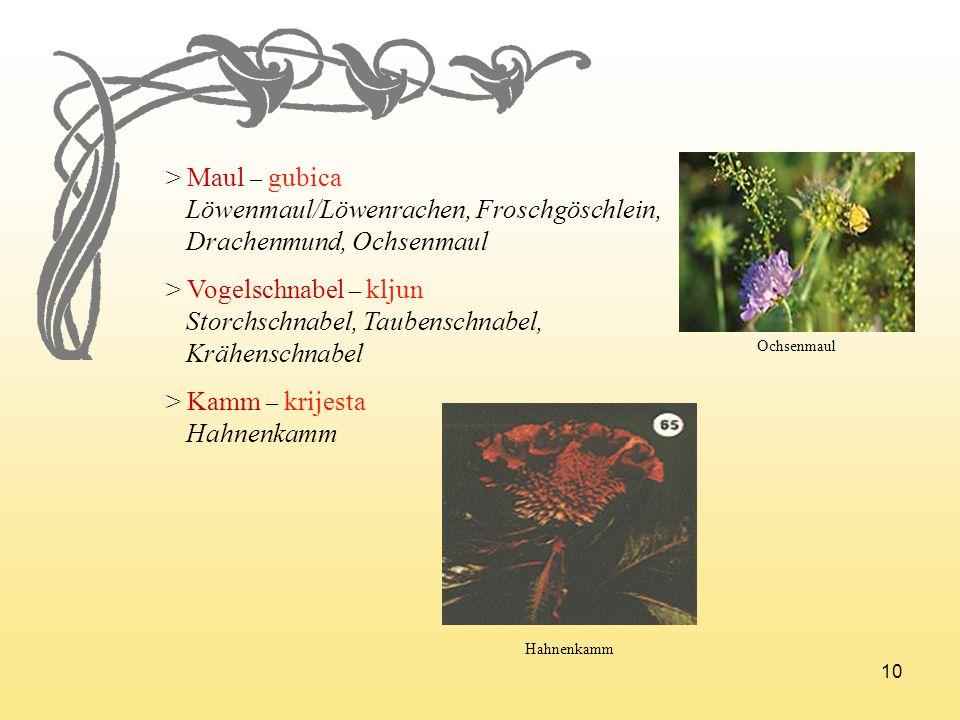 10 > Maul – gubica Löwenmaul/Löwenrachen, Froschgöschlein, Drachenmund, Ochsenmaul > Vogelschnabel – kljun Storchschnabel, Taubenschnabel, Krähenschna