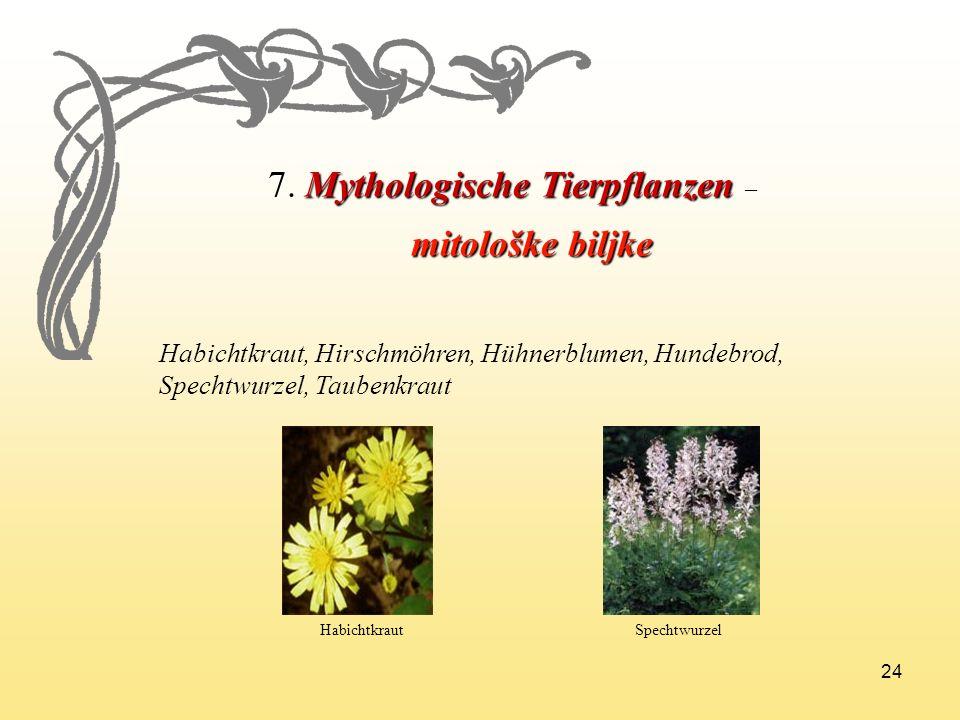 24 7.Mythologische Tierpflanzen 7. Mythologische Tierpflanzen – mitološke biljke mitološke biljke Habichtkraut, Hirschmöhren, Hühnerblumen, Hundebrod,