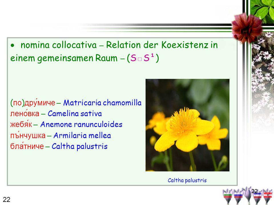 22 nomina collocativa – Relation der Koexistenz in einem gemeinsamen Raum – (SS¹) ( по ) дру́миче – Matricaria chamomilla леновка – Camelina sativa жебяк – Anemone ranunculoides пънчушка – Armilaria mellea блатниче – Caltha palustris 22 Caltha palustris