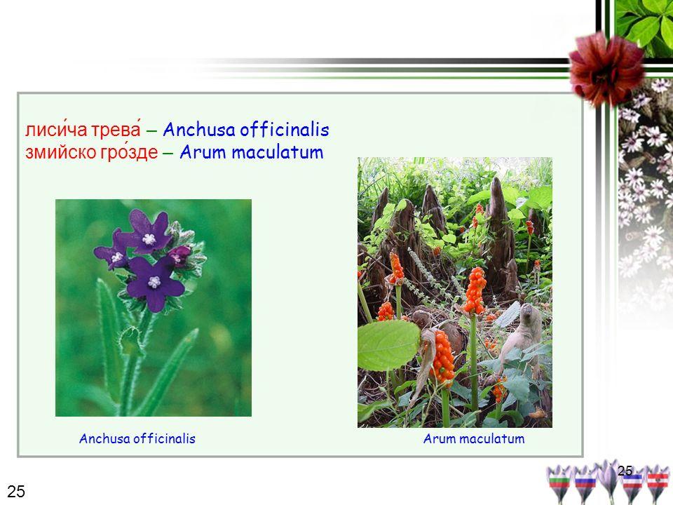 25 лисича трева́ – Anchusa officinalis змийско гро́зде – Arum maculatum Arum maculatumAnchusa officinalis 25