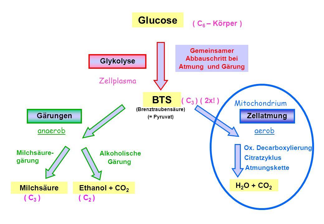 Glucose ( C 6 – Körper ) Glykolyse BTS ( C 3 ) (Brenztraubensäure) (= Pyruvat) GärungenZellatmung anaerobaerob MilchsäureEthanol + CO 2 H 2 O + CO 2 O