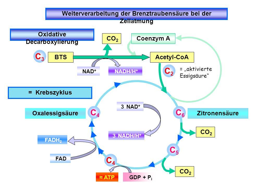 Weiterverarbeitung der Brenztraubensäure bei der Zellatmung Oxidative Decarboxylierung CitratzyklusCitratzyklus im Überblick= Zitronensäurezyklus= Tri