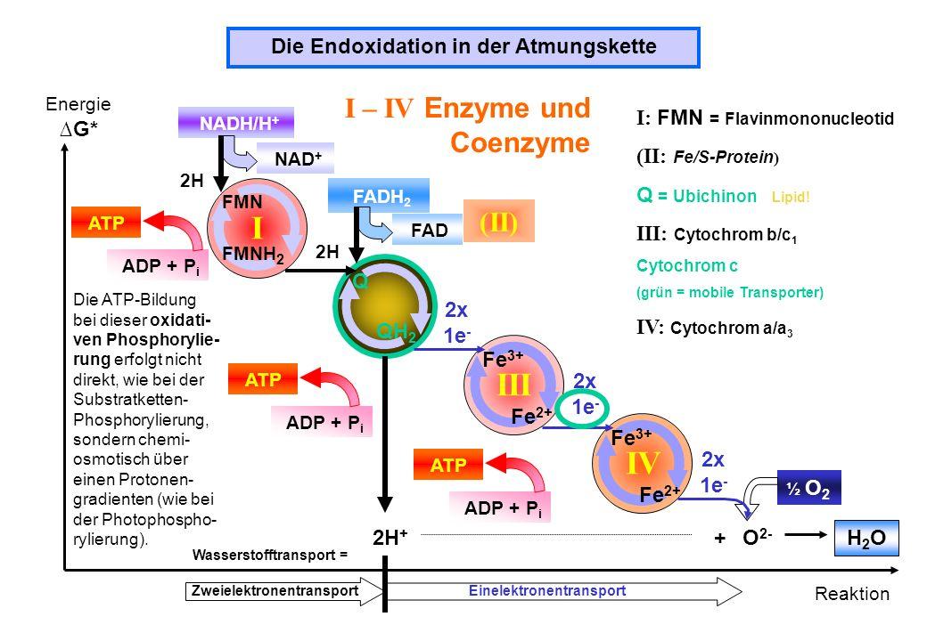 Die Endoxidation in der Atmungskette Energie G* Reaktion I (II) III IV I – IV Enzyme und Coenzyme NADH/H + NAD + FAD FADH 2 ADP + P i ATP FMN FMNH 2 Q