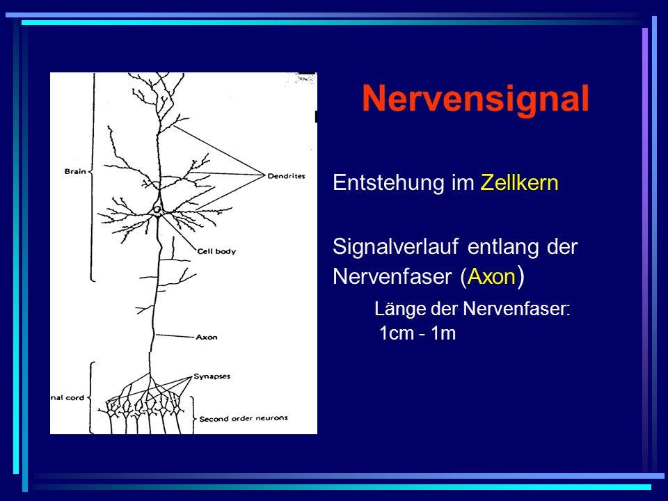 Nervensignal Entstehung im Zellkern Signalverlauf entlang der Nervenfaser (Axon ) Länge der Nervenfaser: 1cm - 1m