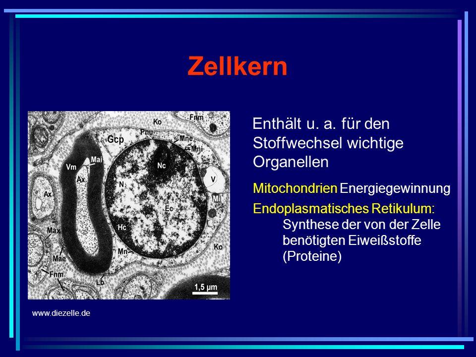 Zellkern Enthält u. a. für den Stoffwechsel wichtige Organellen Mitochondrien Energiegewinnung Endoplasmatisches Retikulum: Synthese der von der Zelle