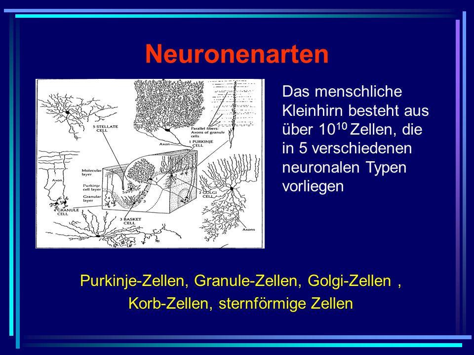Neuronenarten Das menschliche Kleinhirn besteht aus über 10 10 Zellen, die in 5 verschiedenen neuronalen Typen vorliegen Purkinje-Zellen, Granule-Zell