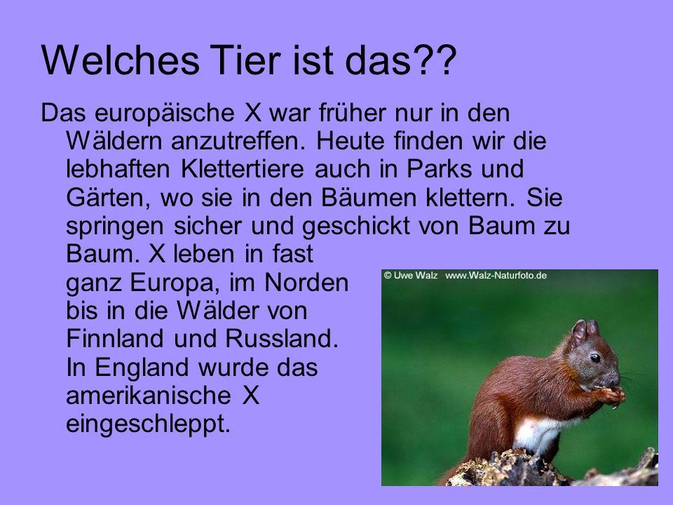 Welches Tier ist das?? Das europäische X war früher nur in den Wäldern anzutreffen. Heute finden wir die lebhaften Klettertiere auch in Parks und Gärt