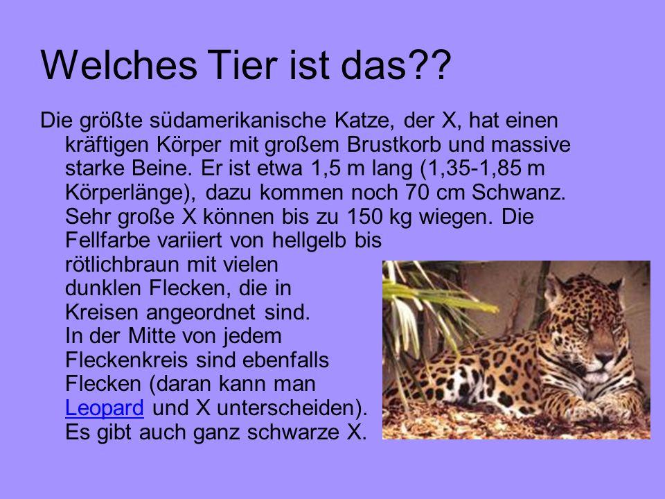 Welches Tier ist das?? Die größte südamerikanische Katze, der X, hat einen kräftigen Körper mit großem Brustkorb und massive starke Beine. Er ist etwa