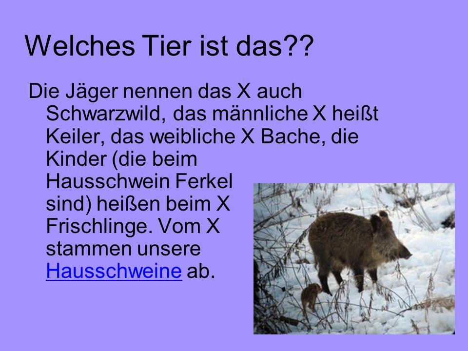Welches Tier ist das?? Die Jäger nennen das X auch Schwarzwild, das männliche X heißt Keiler, das weibliche X Bache, die Kinder (die beim Hausschwein