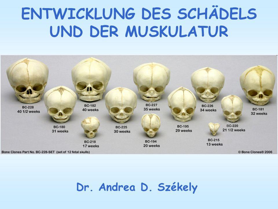 ENTWICKLUNG DES SCHÄDELS UND DER MUSKULATUR Dr. Andrea D. Székely