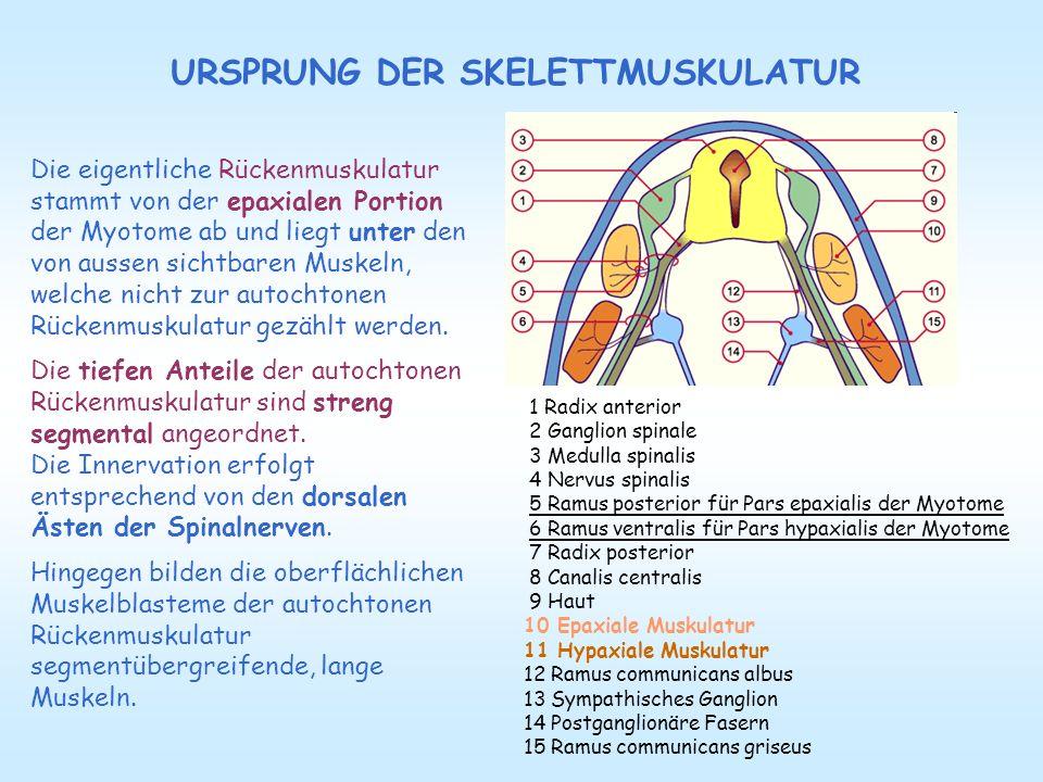 Die eigentliche Rückenmuskulatur stammt von der epaxialen Portion der Myotome ab und liegt unter den von aussen sichtbaren Muskeln, welche nicht zur a