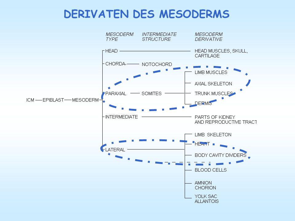 Die Myotome bilden in eine dorsomedial gelegene epaxiale Portion, welche den Ursprung der Extensorenmuskeln der Wirbelsäule (autochtone Rückenmuskulatur oder Musculus erector trunci) darstellen.