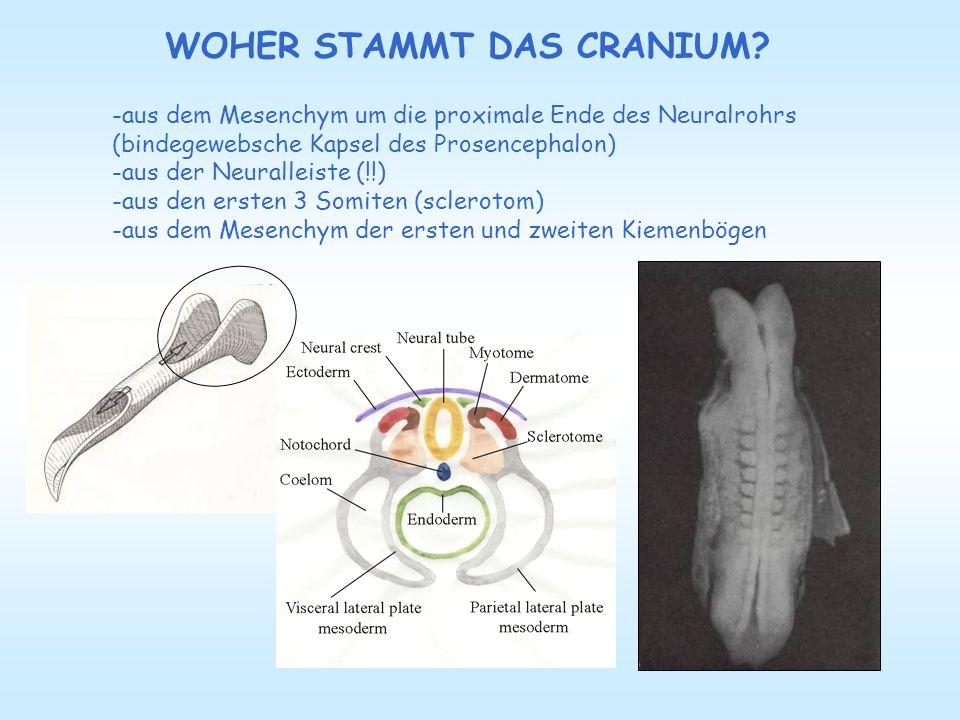 WOHER STAMMT DAS CRANIUM? -aus dem Mesenchym um die proximale Ende des Neuralrohrs (bindegewebsche Kapsel des Prosencephalon) -aus der Neuralleiste (!
