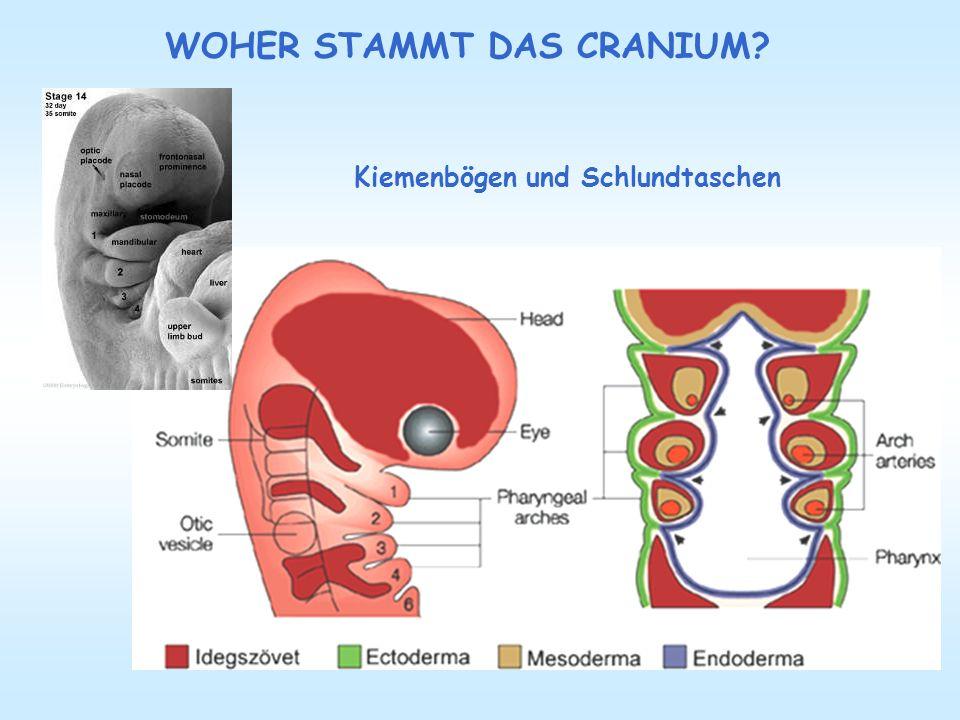 Mit der Rippenentwicklung, die aus den jeweiligen Prozessus ventrales der Sklerotome hervorgehen und in appositioneller Weise nach ventral wachsen, gelangen auch Prämyoblasten aus den thorakalen Dermatomyotomen der jeweiligen Somiten in die Brustwand.