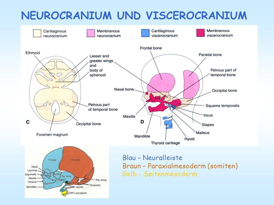 NEUROCRANIUM - chondrocranium parachordale Knorpel Knorpelanlage des os occipitale um das foramen magnum okzipitalen sclerotoms Hypophysenknorpel corpus ossis sphenoidalis (um die Hypophyse) ala major, ala minor, lam.