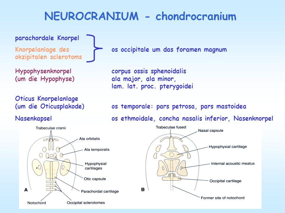 NEUROCRANIUM - desmocranium Flache Knochen : os frontale, parietale, pars tympanica und squama temporalis, squama occipitalis, werden durch desmale Verknöcherung gebildet.