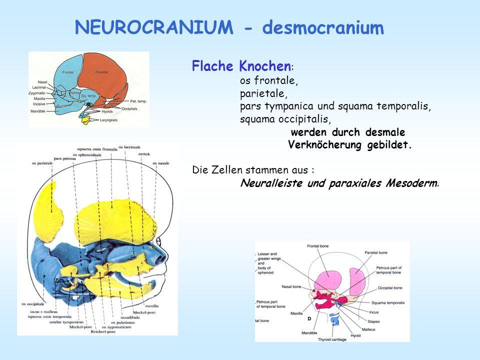NEUROCRANIUM - desmocranium Flache Knochen : os frontale, parietale, pars tympanica und squama temporalis, squama occipitalis, werden durch desmale Ve