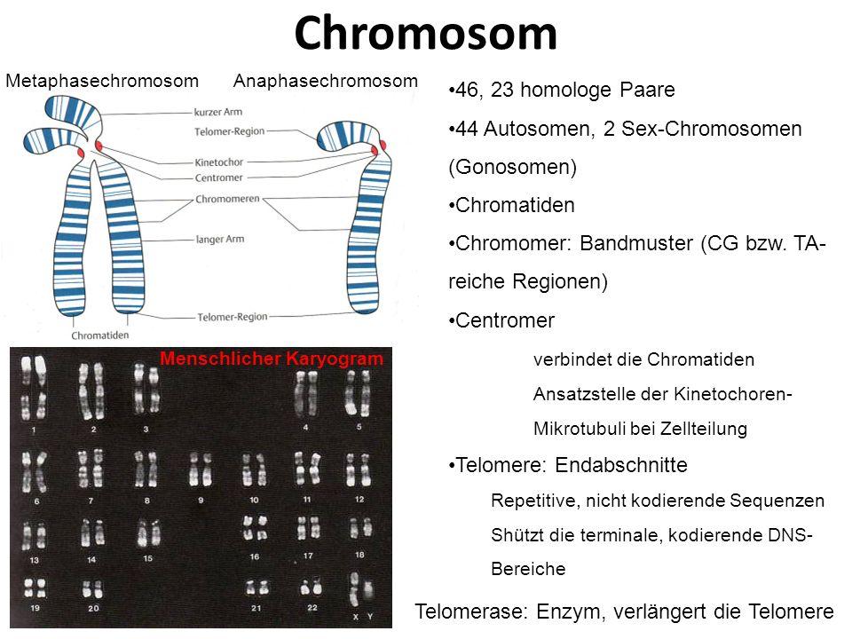 Chromosom 46, 23 homologe Paare 44 Autosomen, 2 Sex-Chromosomen (Gonosomen) Chromatiden Chromomer: Bandmuster (CG bzw. TA- reiche Regionen) Centromer