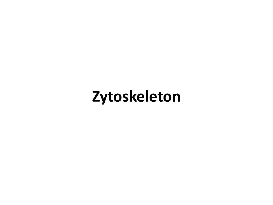 Zytoskeleton