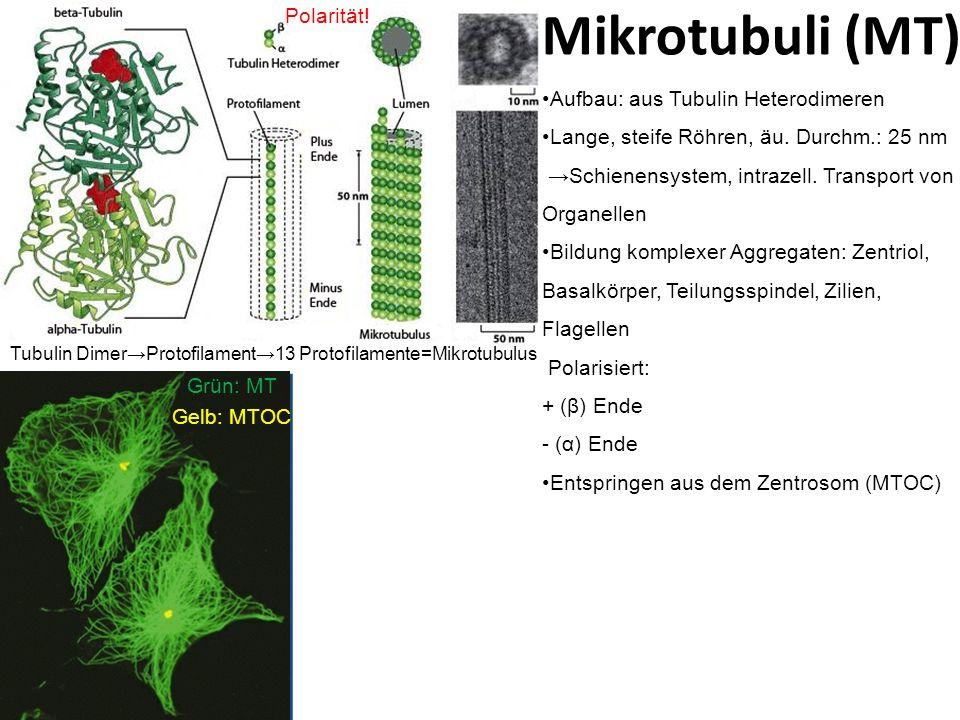 Mikrotubuli (MT) Aufbau: aus Tubulin Heterodimeren Lange, steife Röhren, äu. Durchm.: 25 nm Schienensystem, intrazell. Transport von Organellen Bildun