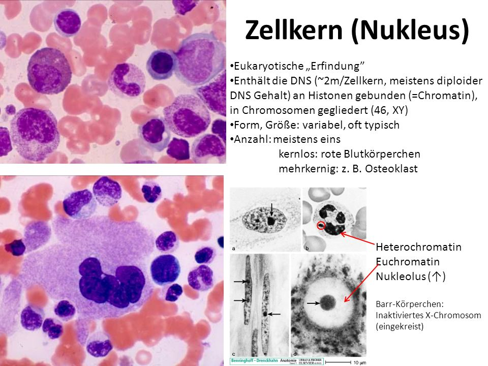 Zellkern (Nukleus) Eukaryotische Erfindung Enthält die DNS (~2m/Zellkern, meistens diploider DNS Gehalt) an Histonen gebunden (=Chromatin), in Chromos