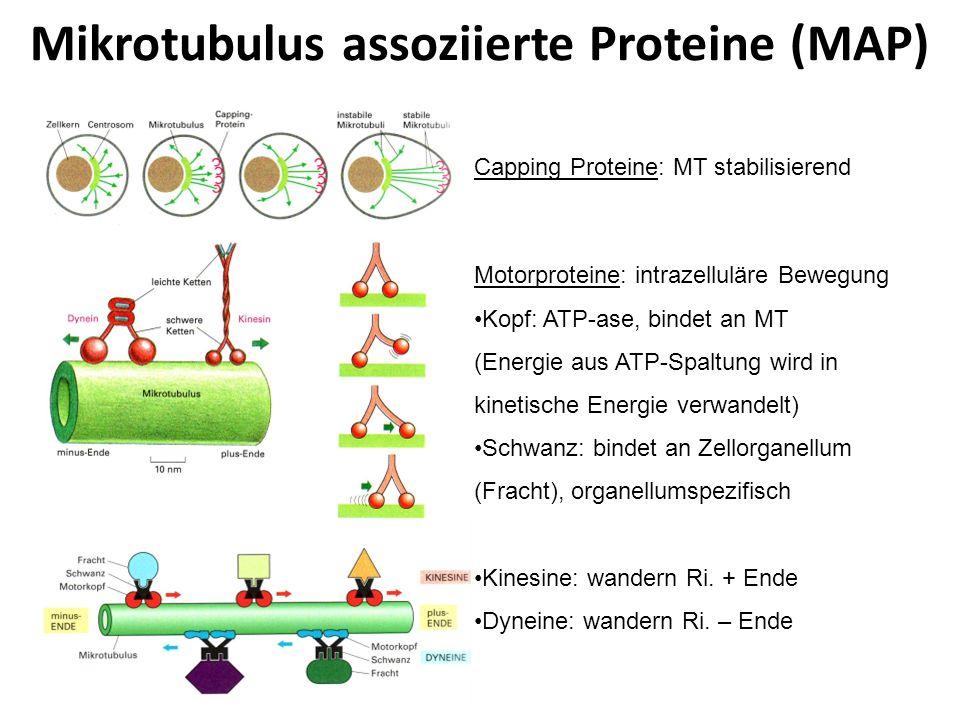 Mikrotubulus assoziierte Proteine (MAP) Capping Proteine: MT stabilisierend Motorproteine: intrazelluläre Bewegung Kopf: ATP-ase, bindet an MT (Energi