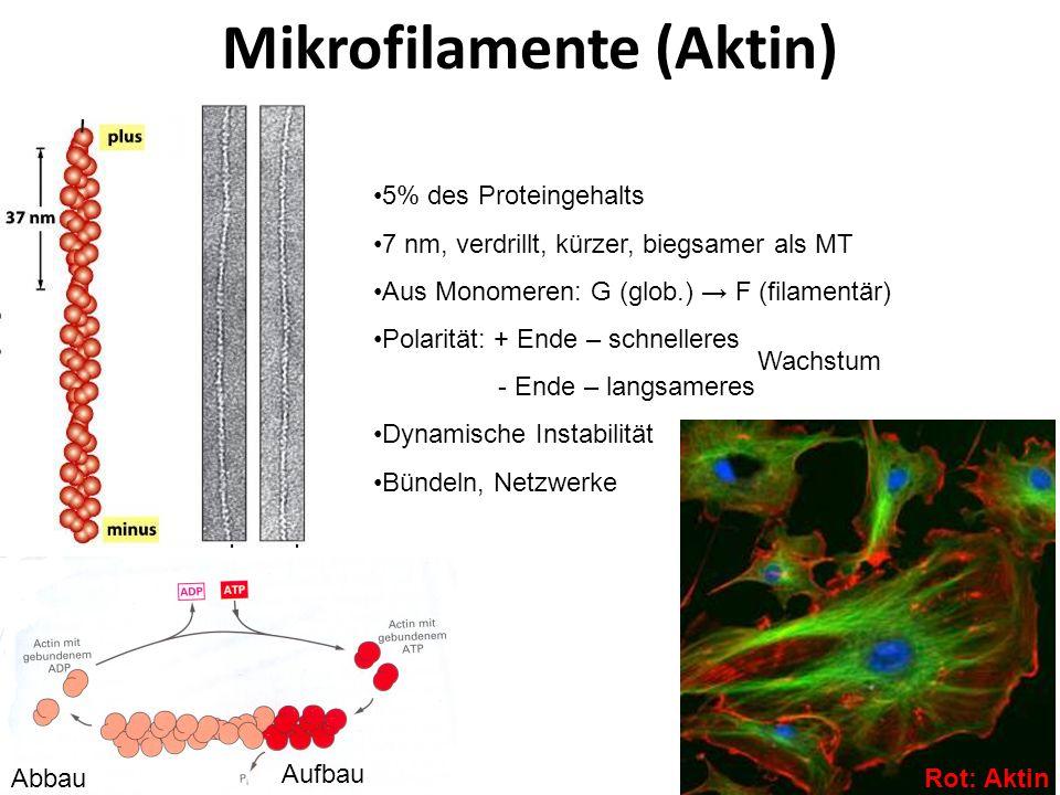Mikrofilamente (Aktin) 5% des Proteingehalts 7 nm, verdrillt, kürzer, biegsamer als MT Aus Monomeren: G (glob.) F (filamentär) Polarität: + Ende – sch