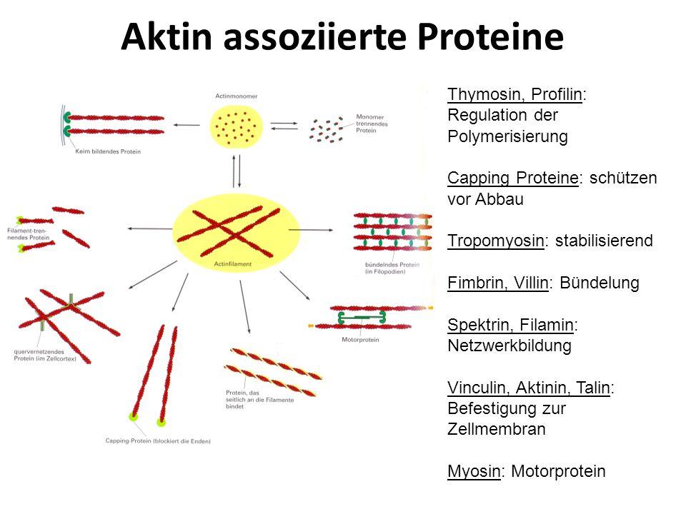 Aktin assoziierte Proteine Thymosin, Profilin: Regulation der Polymerisierung Capping Proteine: schützen vor Abbau Tropomyosin: stabilisierend Fimbrin