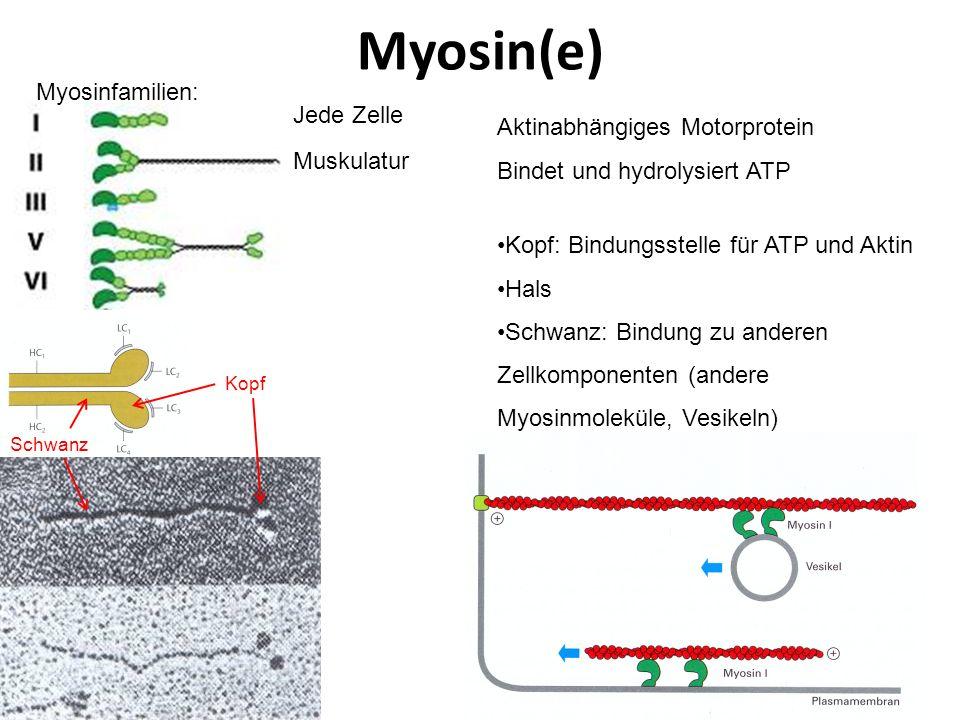 Myosin(e) Aktinabhängiges Motorprotein Bindet und hydrolysiert ATP Myosinfamilien: Muskulatur Jede Zelle Kopf: Bindungsstelle für ATP und Aktin Hals S