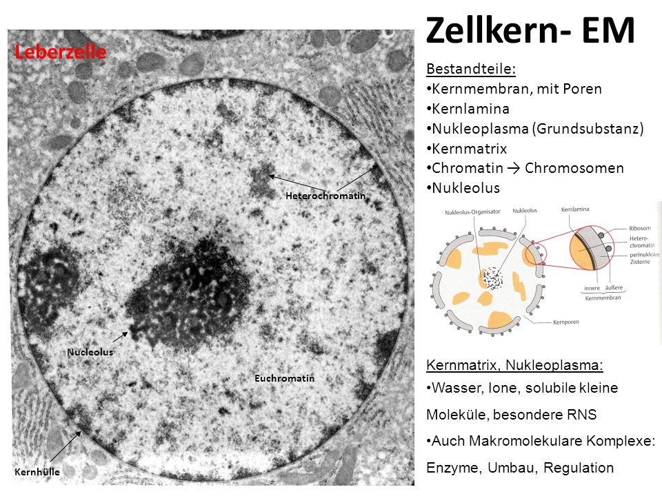 Zellkern- EM Euchromatin Heterochromatin Nucleolus Kernhülle Phasenkontrastmikroskopisches Bild Leberzelle Bestandteile: Kernmembran, mit Poren Kernla