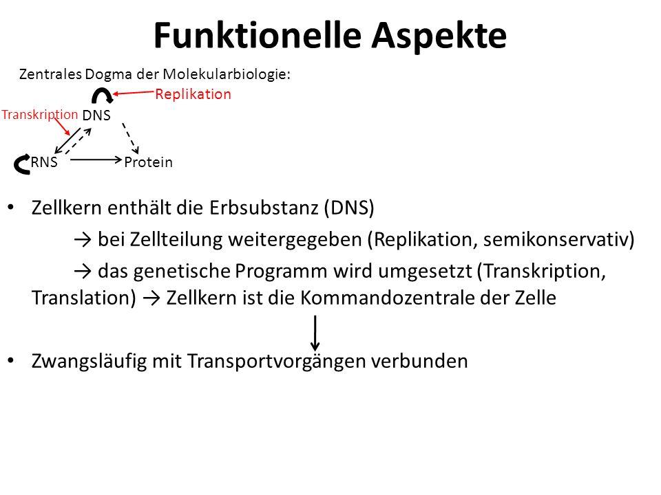 Intermediärfilamente (IF) ~10 nm dick Zugfest mechanische Festigung (z.