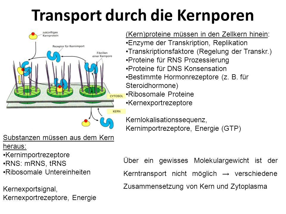 Transport durch die Kernporen (Kern)proteine müssen in den Zellkern hinein: Enzyme der Transkription, Replikation Transkriptionsfaktore (Regelung der