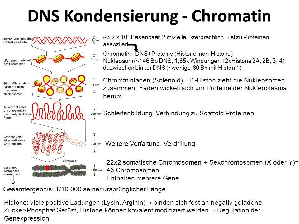 DNS Kondensierung - Chromatin Gesamtergebnis: 1/10 000 seiner ursprünglicher Länge ~3,2 x 10 9 Basenpaar, 2 m/Zellezerbrechlichist zu Proteinen assozi
